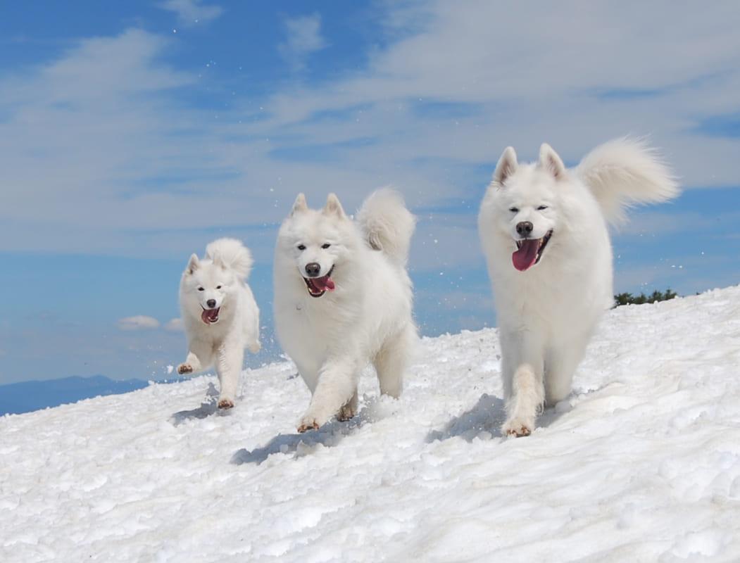 Cách huấn luyện chó Samoyed. Chia sẽ cách chăm sóc chó đơn giản