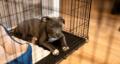 Huấn luyện chó ở trong chuồng cần chú ý những gì?